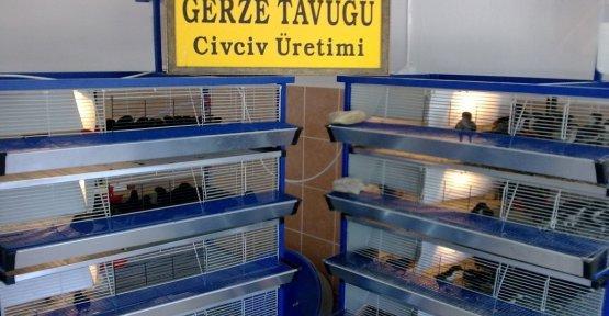 Hacıkadı Tavuğu ile İlgili Çalışmalar Sürüyor.