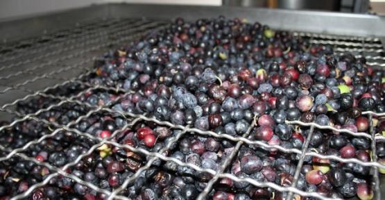 Zeytinyağı Üretimi Devam Ediyor