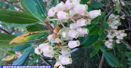 Piretünler Çiçek Açtı