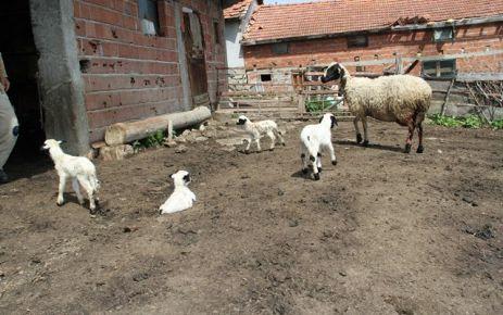 Bu Koyunlar Yılda Yedi Kuzu Veriyor