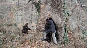 Dev Ağaç Tarihe Meydan Okuyor.
