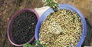 En Küçük Meyve, Yaban Mersini Gerze Pazarındaki...