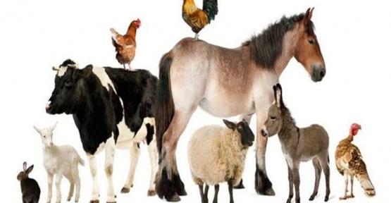 Gerze'deki Hayvan Sayısı Açıklandı